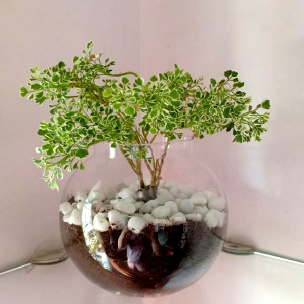 """Terrarium without miniature in 10"""" Glass Pot with single Plants"""