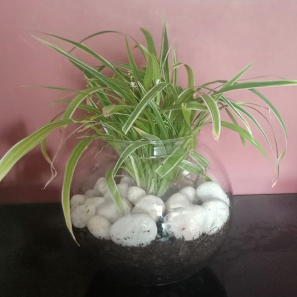 """Terrarium without miniature in 10"""" Glass Pot with Spider Plant"""